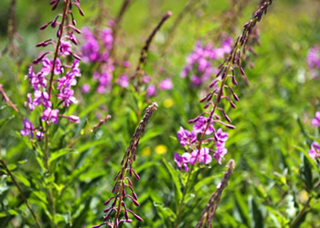 fireweed a beautiful Alaskan flower